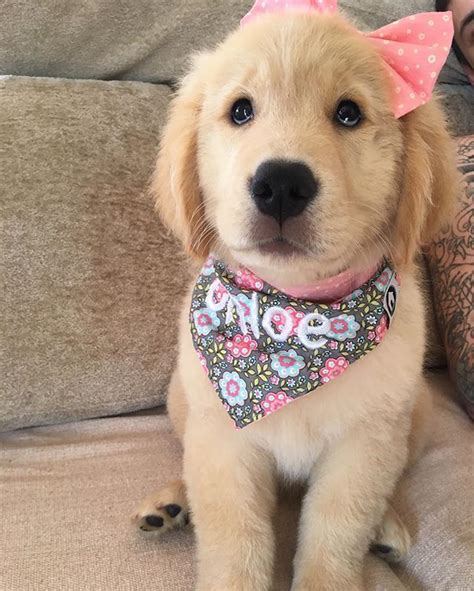 golden retriever dressed up all dressed up plumb worn out animals animal and doggies