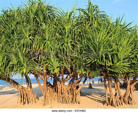 pandanus stock photos pandanus stock images alamy