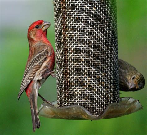 house finch bird feeder birdcage design ideas
