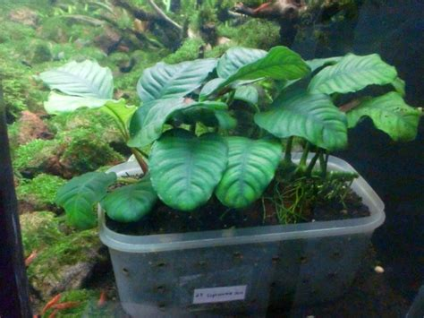 pupuk dasar organik green aquascape aquajaya