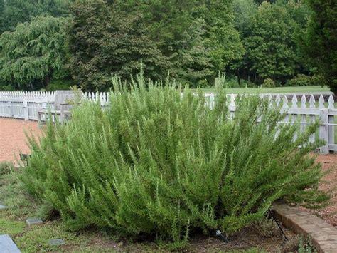 cura rosmarino in vaso rosmarino coltivazione come fare aromatiche come