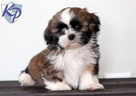 puppies for sale in pittsburgh pa 17 best images about shih tzu puppies on duke sweet and petunias