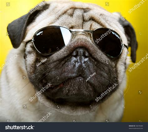 pug with goggles pug with sunglasses shoot stock photo 56878480