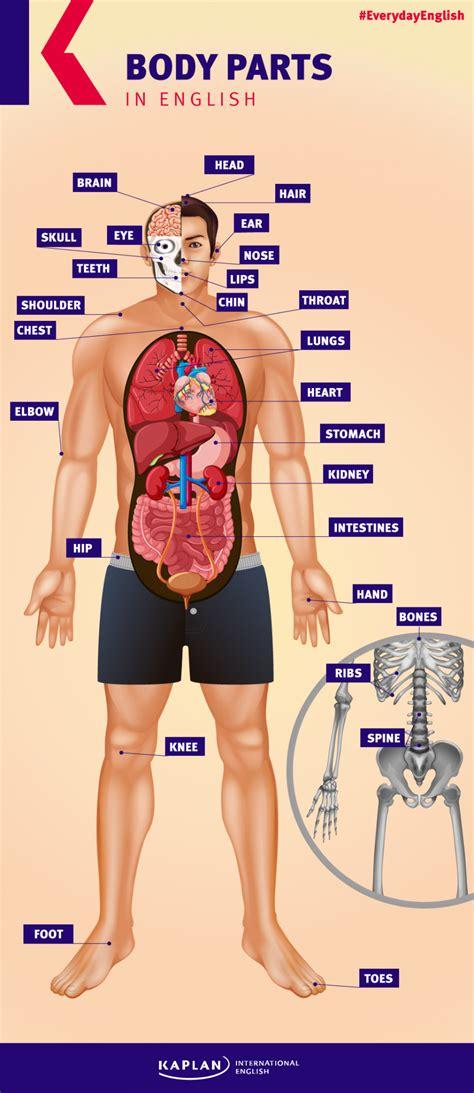 imagenes de cuerpo humano ingles el cuerpo humano en ingl 233 s kaplan blog