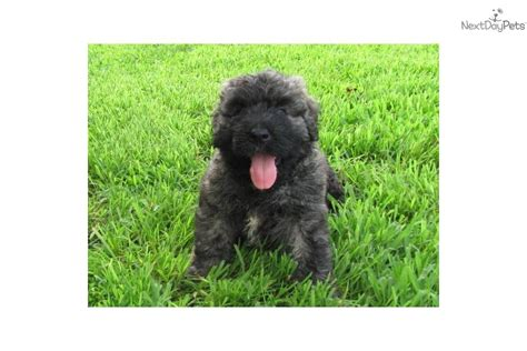 bouvier puppies for sale in michigan brindle bullmastiff puppies brindle bullmastiff puppies is breeds