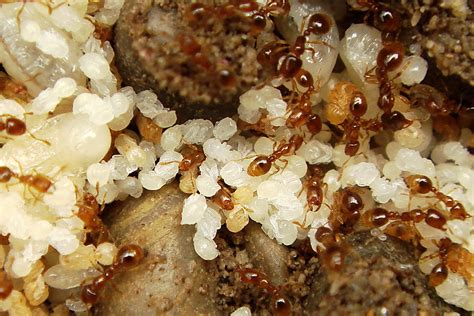 Gelbe Ameisen Rasen Vor Ameisen Befall Sch Tzen Einfacher