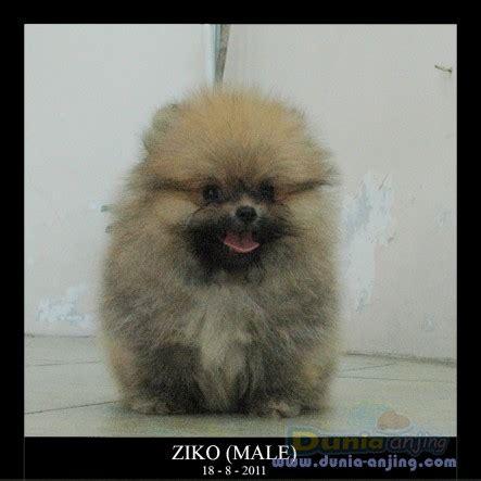 show quality pomeranian dunia anjing jual anjing pomeranian jual mini pomeranian show quality bulu lebat