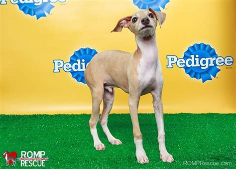 puppy bowl adoptions chicago rescue pups take the field in puppy bowl x