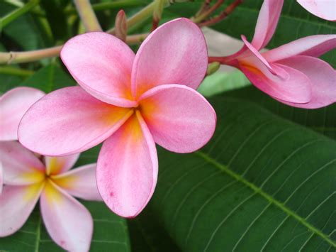 plumeria photos flower picture plumeria flower desktop wallpaper