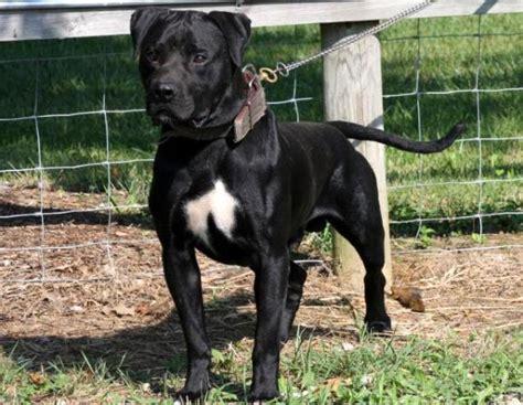 american bulldog puppies konfederate kennel s of black ch s