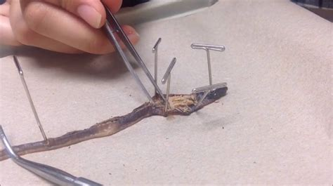 Earthworm Dissection Earthworm Dissection Walkthrough