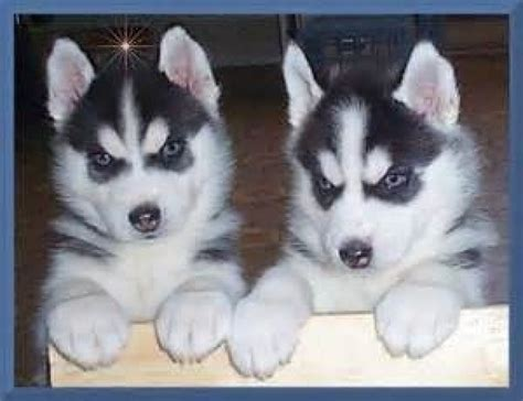 husky puppies with blue siberian husky puppies blue ready dogs puppies indiana