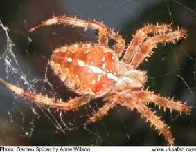 Garden Spider Uk Poisonous Garden Spiders Or Cross Spiders Araneus Diadematus Uk