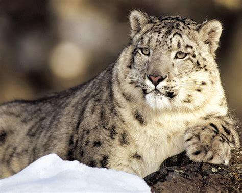 Home Design Quiz by Snow Leopard Animals Wallpaper 13128067 Fanpop