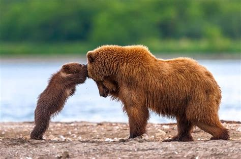 grizzly bear cubs playing grizzly bear mother and cub playing photo one big photo