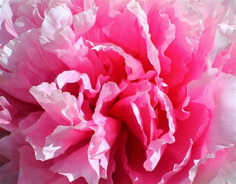 pink peonies tickety boo health coaching pink peonies