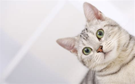 wallpaper cat green striped gray cat with green eyes wallpapers and images
