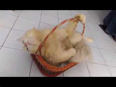 Keranjang Kucing lucu aksi kucing dalam keranjang parcel 01