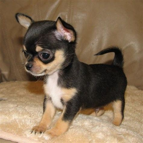 black chihuahua puppies black and chihuahua puppy our