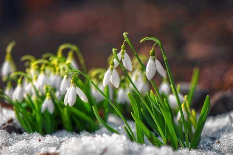 snowdrops   put winter  perspective