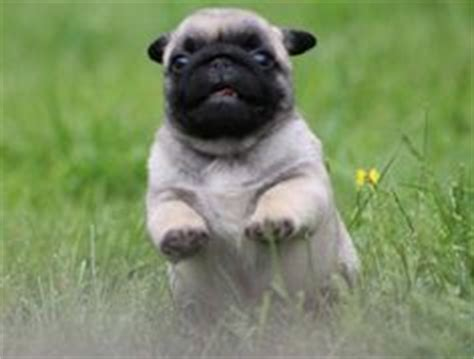 can pugs run 1000 images about pugs on the run on pug running and a pug