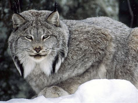 canadian snow lynx canadian lynx wallpapers hd wallpapers id 4873
