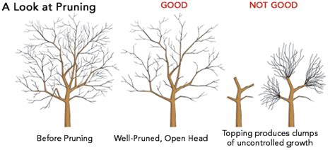 how much light does a lemon tree need tree pruning and proper tree pruning tree thinning tree