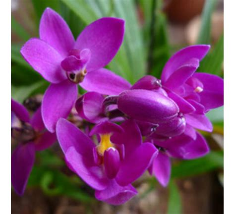 buy ground orchid spathoglotis plicata online at cheap price india s biggest plants and