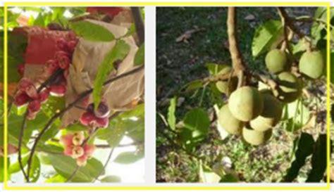 Pupuk Bunga Rontok mengatasi agar buah dan bunga tanaman tidak rontok
