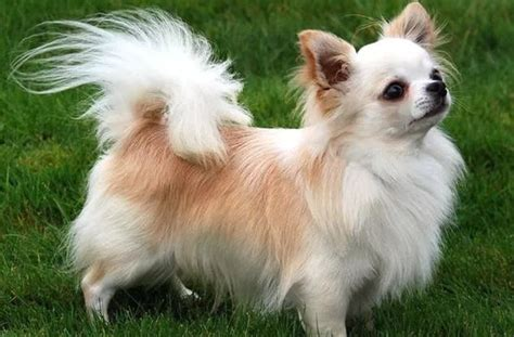 long hair chihuahua hair growth what to expect seven things you didn t know about the long haired chihuahua