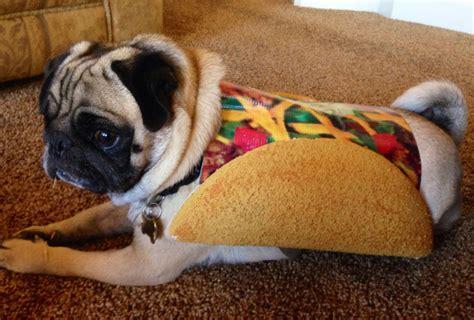 pug in taco costume costume 99 pugs