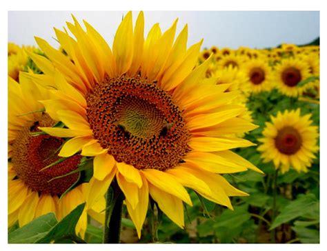 Imagenes De Uñas Girasoles   cuadros de flores grandes pintura en 211 leopintura en 211 leo