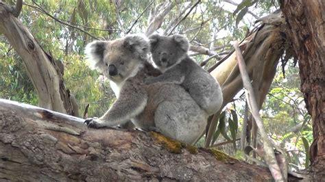 koala hängematte questo dolce koala sembrava non avesse via di sco