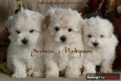 Maltipoo Shed by Maltipoo Maltese And Poodle Mix About 10 Pounds Bark So