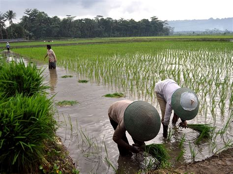 agriculture  indonesia wikipedia