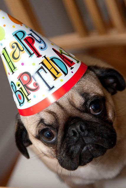 happy birthday pug 25 best ideas about happy birthday pug on pugs pug and pug puppies