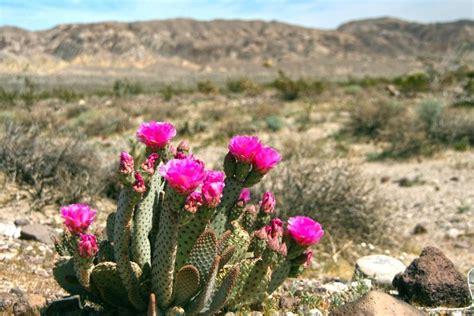 desert flowers borrego springs ca where desert flowers spring to life