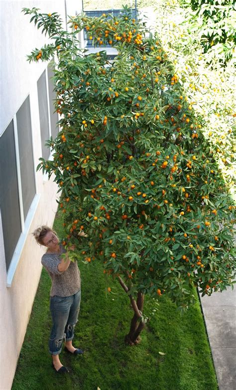 backyard lemon tree kumquat tree new orleans plants pinterest trees the