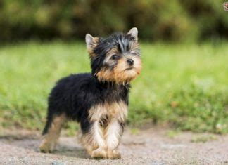 yorkie puppy cost alaskan malamute price range how much is an alaskan malamute puppy