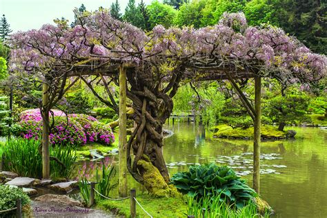 wisteria arbor the japanese garden is adorned with a