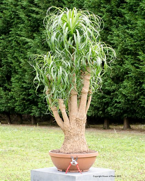 Office Pots beaucarnea recurvata pony tail palm specimen plant house