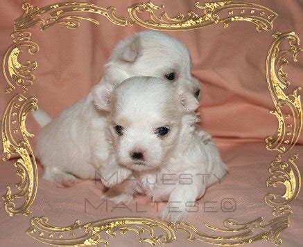 what to feed puppies at 4 weeks maltese puppies stages of growth