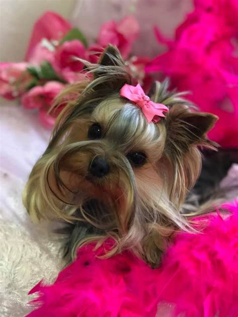 where yorkies come from yorkies for sale teacup yorkie puppies yorkiepoos for sale 580 364 2040