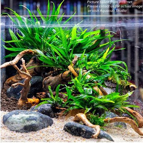 aquascape plants for sale microsorium pteropus mini fern aq end 3 19 2019 5 15 pm