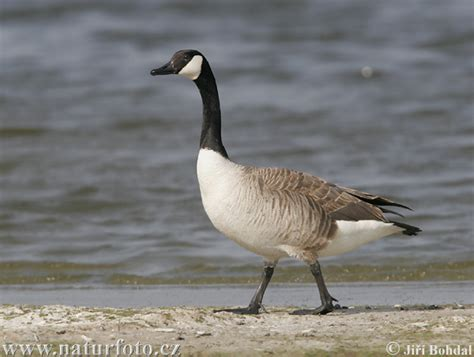 Canadian Goose Photos