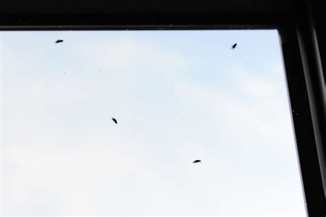 why are there gnats in my bathroom natureplus small black flies taking over my flat