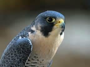 Eagle Wall Decor Peregrine Falcon United Arab Emirates National Bird