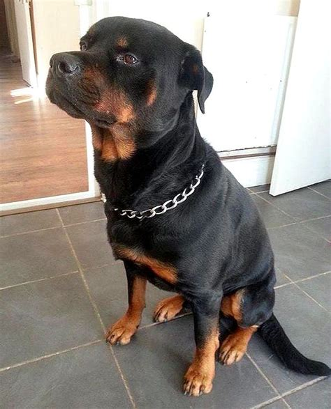 rottweiler attack adopted rottweiler saves from knife attack