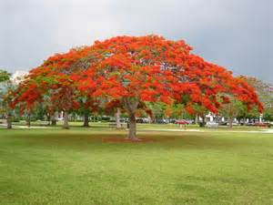 Landscaping Ideas Front Yard Australia - royal poinciana tree also known as delonix regia is a semi evergreen or deciduous member of