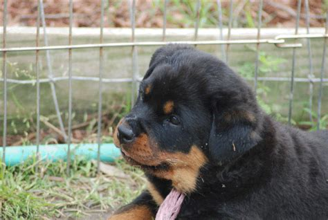 rottweiler puppies for sale in detroit rottweiler for sale denver photo